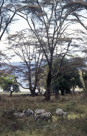 Zebras under Acacia Trees in Norongoro Crater,Tanzania photo