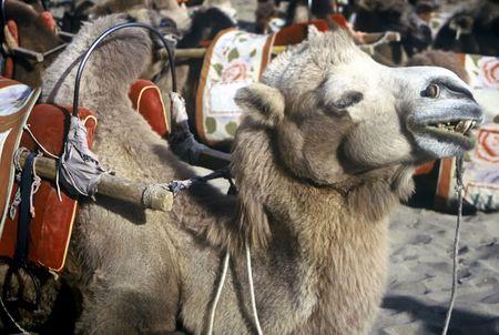 saddle camel: Camel waiting for passengers,Dunhuang,Gansu,China Stock Photo