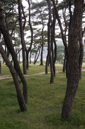 Fir Forest at the hahoe folk village in south Korea