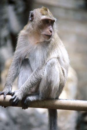 tame: Tame babuino sentado en un polo, Tailandia