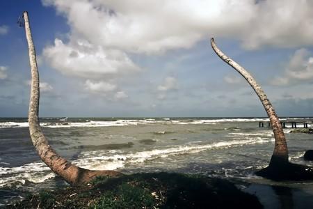 Dead palms on the Caribbean coast, Guatamala Stockfoto