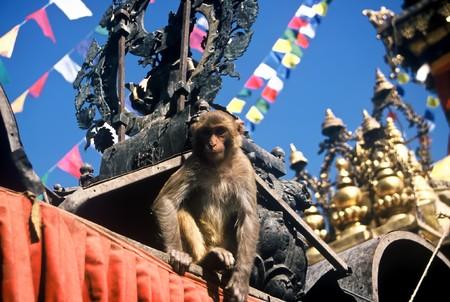 kathmandu: Monkey in a temple in Kathmandu, Nepal,