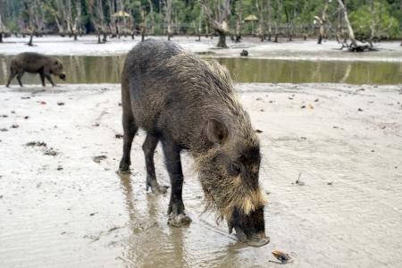jabali: Cerdo salvaje en el Parque Nacional de Bako, Borneo, Malasia