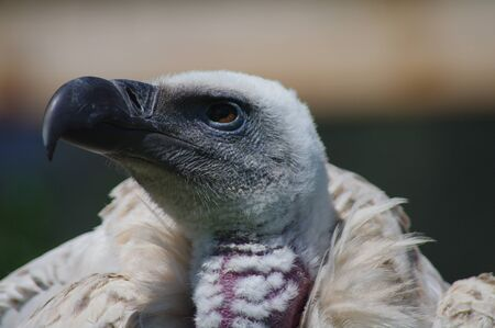 African white-backed vulture close-up
