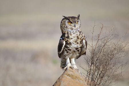 Cape Eagle Owl on rock