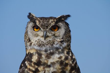 Cape Eagle Owl with yellow piercing eyes silhoutted against blue sky
