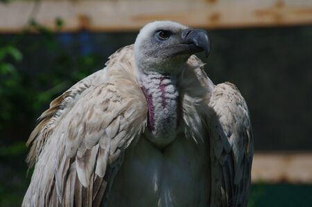 African white-back vulture close-up showing mean eyes and vicious beak