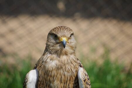 Lanner Falcon close-up