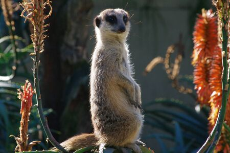 Meerkat sentinal sitting on rock and framed by red aloe plant