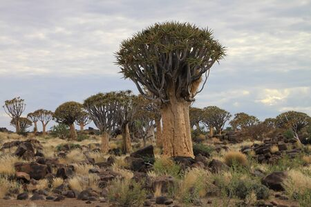 Quiver Tree or Upside-down tree growing in dolerite rock landscape in Namibia
