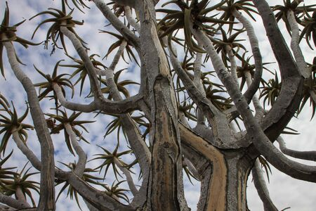 Close up of Quiver Tree branches growing in dolerite rock landscape