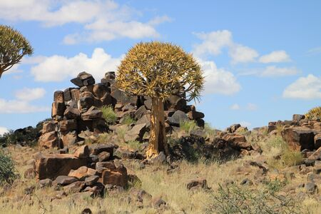 Quiver Tree growing in dolerite rock landscape in Namibia
