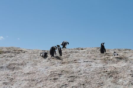 Jackass penguins frolicking on the rocks at Boulders Beach, Simonstown, South Africa, during breeding time