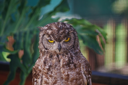 Cape Eagle Owl with yellow eyes and mean look