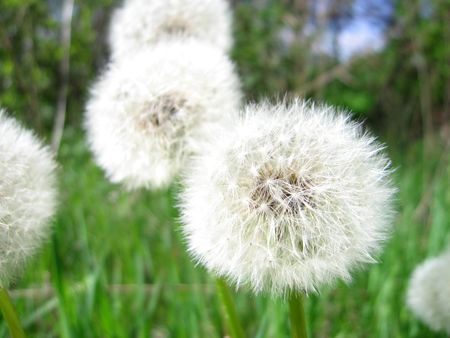 Close up of a Dandelion in a field with shallow DOF