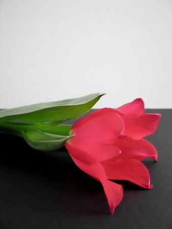 A soft focus red tulip with copyspace Stock Photo - 490433