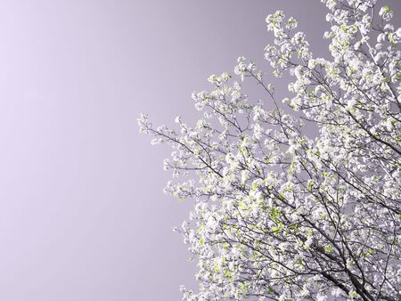 hue: A lovely spring tree blooming against a lavender hue