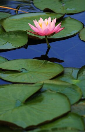 A pond with a pink lotus flower and lily pads  版權商用圖片