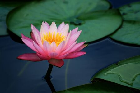 japanese flower: A pink lotus flower and lily pads with saturated color