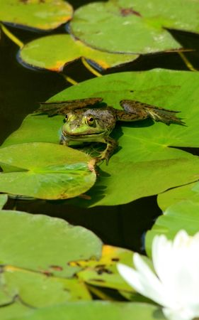 A bullfrog perched on a lily pad with lotus blossom in the foreground Banco de Imagens