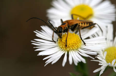 longhorn beetle: A black and yellow longhorn beetle sits on a daisy