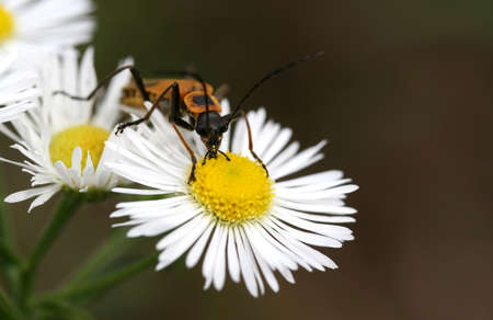 longhorn beetle: A black and yellow longhorn beetle on a daisy Stock Photo