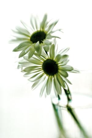daisys: Springtime daisys in a glass vase Stock Photo