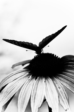 a black and white image of an butterfly perched on a flower Stock Photo