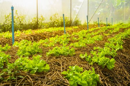 Organic vegetable farm of farmers There are many kinds of vegetables such as Green Oak, Butterhead, Greencos are totally non-chemical vegetables.