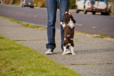 Young English Springer Spaniel puppy begging at feet of young woman Standard-Bild