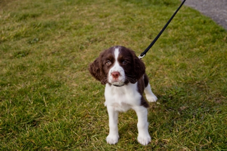 wag: Young English Springer Spaniel puppy on a walk in the park
