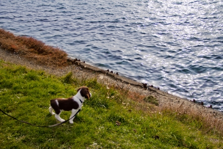English Springer Spaniel at waterfront park Stock Photo