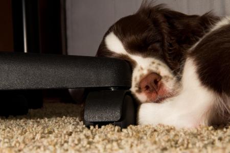 Springer Spaniel puppy sleeping next to office chair leg