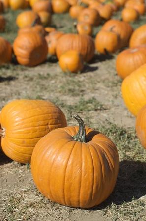 Vertical group of pumpkins in a pumpkin patch