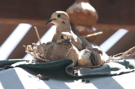 Dove sits on its nest with its two babies, facing left
