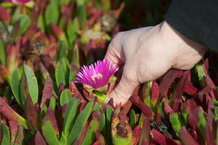 picks: Caucasian hand picks a pink flower