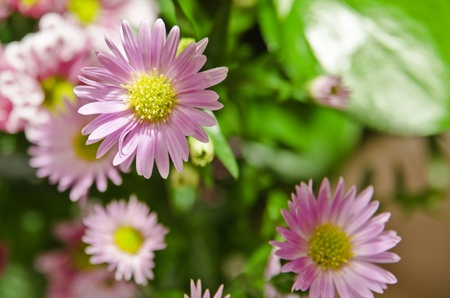centres: Pink Daisies with yellow centres