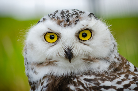A Snowy Owl (Bubo Scandiacus) poses for a close up head shot portrait.