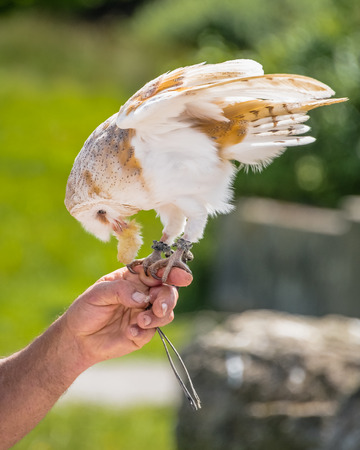 A Common Barn Owl (Tyto alba) stoops down whilst perched and tethered to a falconer's left hand forefinger to feed on a small piece of fluffy carrion.