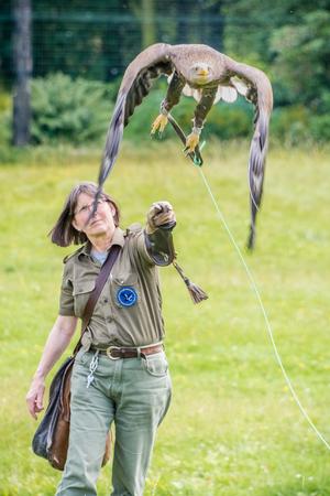Sligo, Ireland - July 13th 2017.  A white-tailed eagle launches into flight off a falconers arm. Editorial