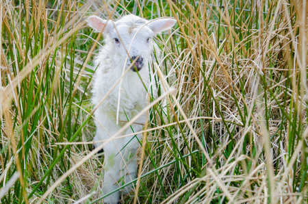 A new born spring lamb, hides within a thicket of rushes.