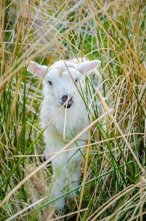 A new born lamb hides within a thicket of rushes 免版税图像
