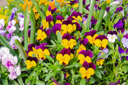 A close up image of a spray of garden pansies
