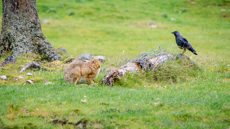 A common hare and a Western Jackdaw (Coloeus monedula) sit in close proximity to one another next to a discarded fence post with wire attached. Stock Photo