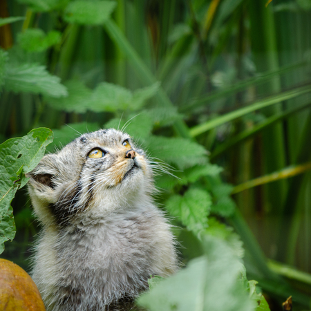 A Pallas's cat in forest undergrowth