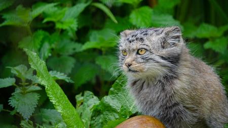Un gato de Pallas en la maleza del bosque Foto de archivo
