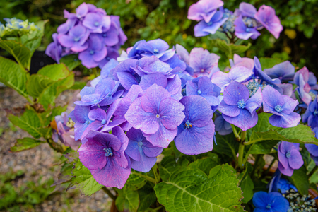 A close up of a hydrangea, or hortensia, bloom.