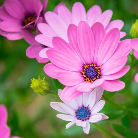 A beautiful bloom of pink-petal Cape Daisies (Osteospermum) Stock Photo
