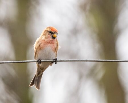 A lesser Redpoll (Acanthis cabaret) perches on a wire posing for a portrait.