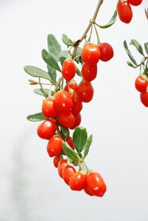 wolfberry: Wolfberry, Chinese wolfberry,